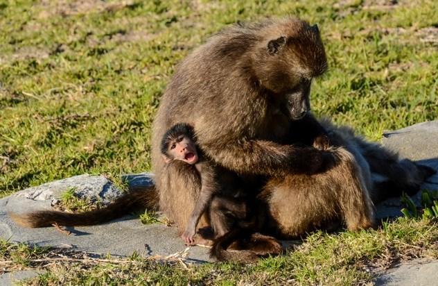 狒狒父亲狮子口下勇救幼崽_为何这十种动物会有杀害幼崽的行为?