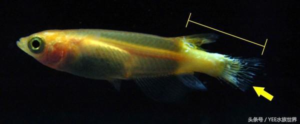 青岛个人出售鹦鹉鱼不擅长养青鳉鱼的看过来 图解青鳉鱼常见病症 青岛水族批发市场 青岛龙鱼第2张