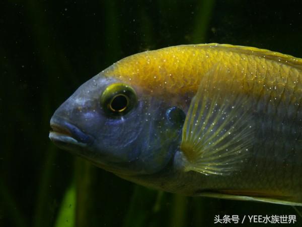 青岛个人出售鹦鹉鱼不擅长养青鳉鱼的看过来 图解青鳉鱼常见病症 青岛水族批发市场 青岛龙鱼第5张