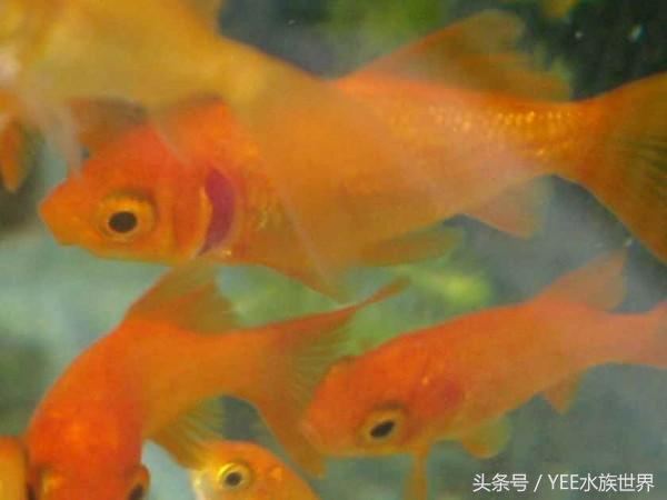 青岛个人出售鹦鹉鱼不擅长养青鳉鱼的看过来 图解青鳉鱼常见病症 青岛水族批发市场 青岛龙鱼第3张